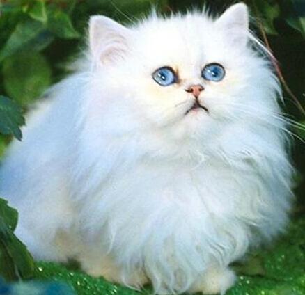 波斯猫怎么驯养?驯养的注意事项有哪些?
